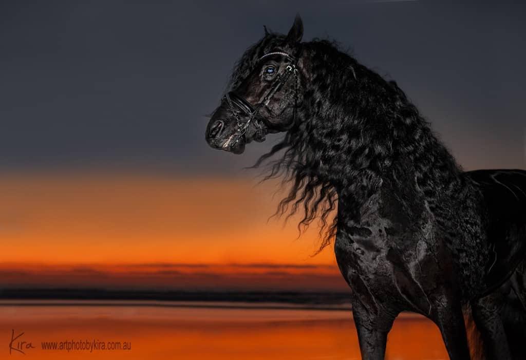 glamour shots friesian horse